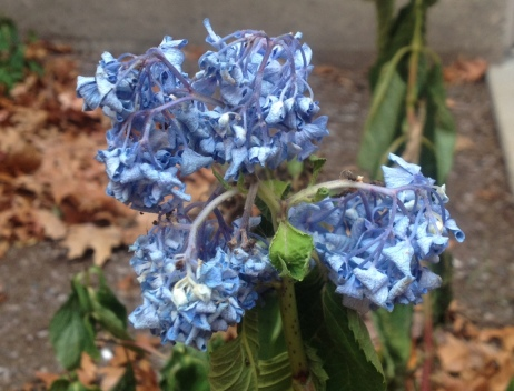 a blue hydrangea after the first frost