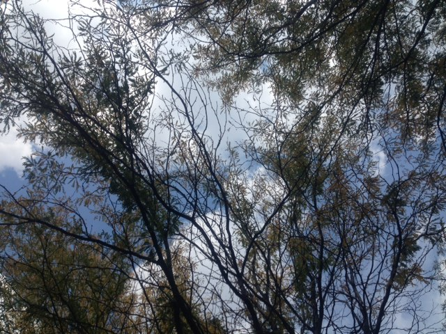 Looking up at the clouds through the trees