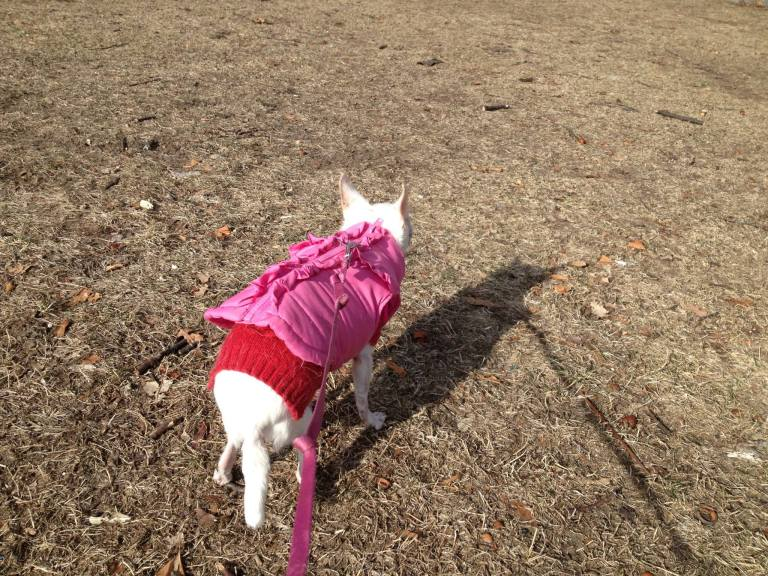 My baby girl, Osito, enjoying a walk in the sun last weekend. :-)