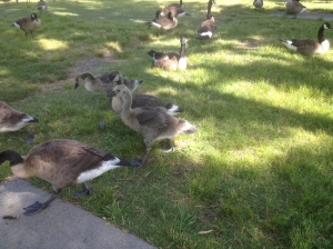 Baby geese!!!