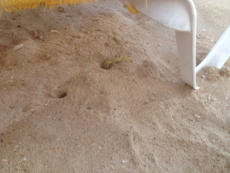 One of my many sand crab friends