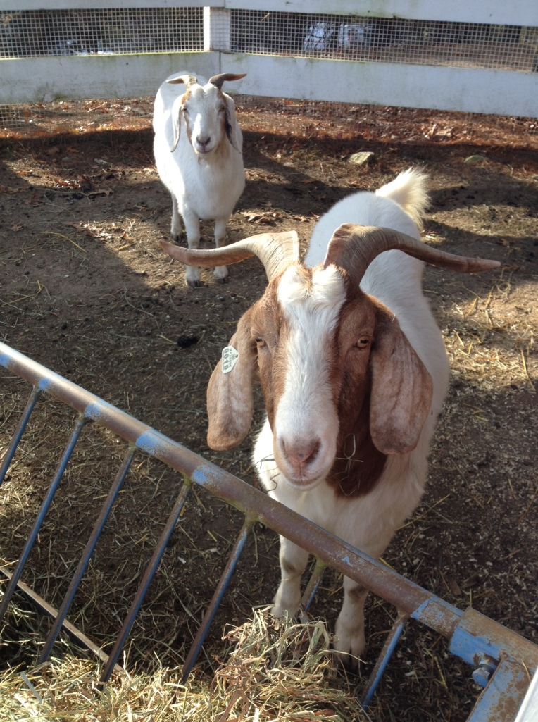 Mr. Billy Goat and his shy female friend. She's just beautiful up close.