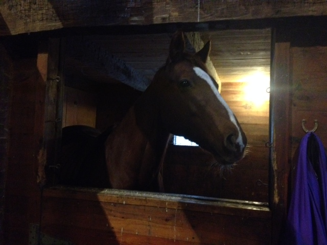 Close-up of Fancy in the barn.