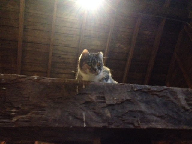 "Melissa, the barn cat (aka ""the creeper"" because she is skiddish around humans but creeps around to keep an eye on what we are doing in the barn. Super cute.)"