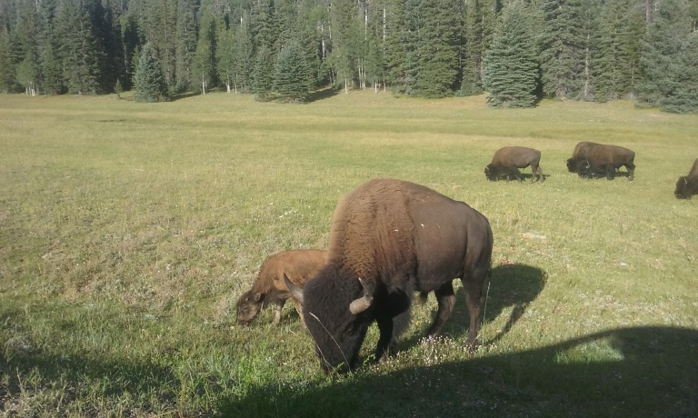 Yes, those are bison. Yes, that is a cute little baby bison! And yes, they were THAT close to my car!