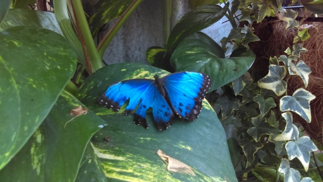 Blue butterflies always catch my attention.