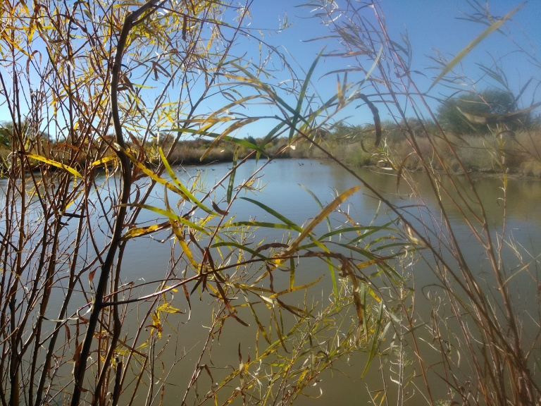 One of the ponds near the Rio Grande River - at the Alameda open space area.