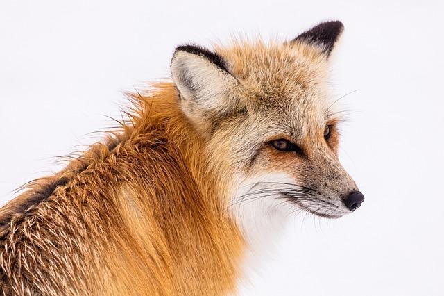 red-fox-2230731_640.jpg