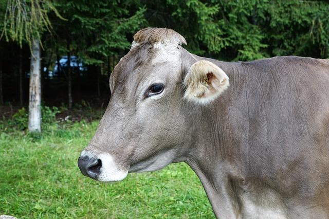 cow-2877741_640.jpg