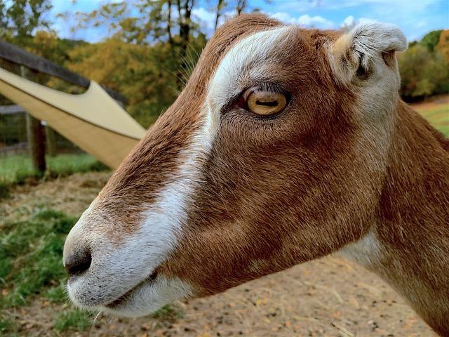 goat-1749058_640.jpg